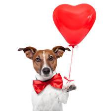 Фото Собаки Сердечко Джек-рассел-терьер Бантик Лапы Воздушный шарик Животные