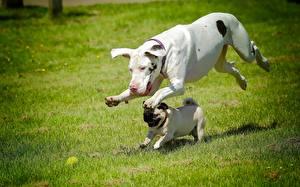 Картинки Собаки Немецкий дог Мопсы Бег Траве Вдвоем Животные