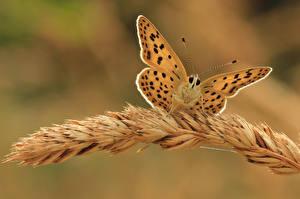 Обои Бабочки Насекомые Вблизи Колос Животные