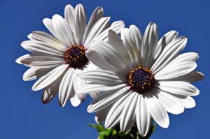Фотографии Ромашки Крупным планом Белый 2 Цветы