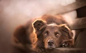 Картинка Собаки Взгляд Ирландский сеттер Скамейка Ретривера животное