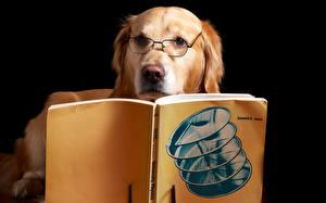 Фотографии Собака Золотистый ретривер Ретривера Очки Книга Животное Животные Юмор