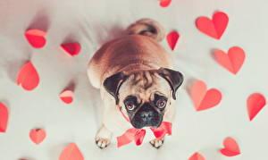 Фотографии Собаки Мопс Смотрит Сердечко Животные