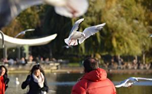 Картинка Птица Чайка Парки Лондоне Животные