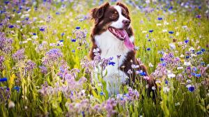 Фотографии Луга Собаки Австралийская овчарка