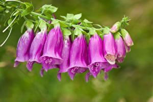 Фото Наперстянка Фиолетовых Цветы