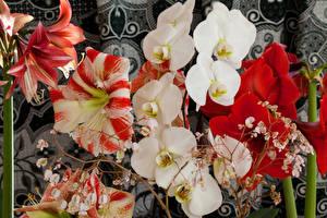 Фото Амариллис Орхидея Вблизи Цветы