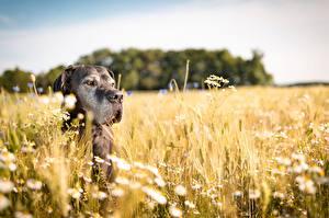 Фотографии Собаки Поля Немецкий дог Колосок животное