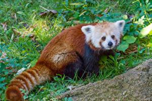 Картинки Малая панда Траве Рыжая