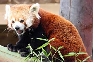 Картинки Бамбук Бамбуковый медведь Малая панда Морды firefox