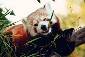 Фотография Малая панда Листва