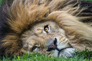 Обои Львы Взгляд Морда ©Tambako The Jaguar Животные фото