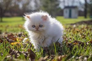Картинки Коты Котята Белый Трава Животные