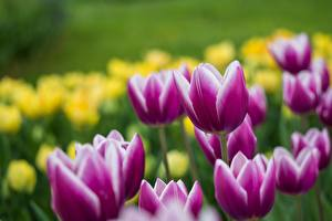 Картинки Тюльпаны Фиолетовые Цветы