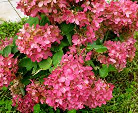 Обои Гортензия Крупным планом Розовых paniculata Цветы