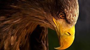Обои Орел Крупным планом Птица Клюв Животные