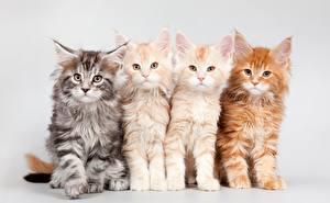 Картинка Кошки Мейн-кун Котята Пушистый Рыжий