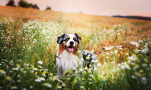 Фото Собаки Луга Австралийская овчарка Животные