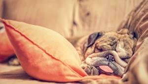 Картинка Собака Бульдог Спящий Морда Животные
