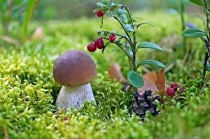 Картинка Грибы природа Белый гриб Траве Трава