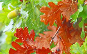 Фото Осень Крупным планом Дуб Листья Паутина