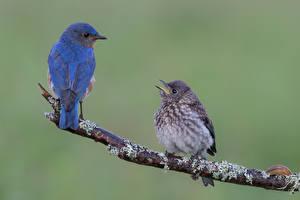 Фотографии Птицы Две Ветвь Синих Bluebird животное
