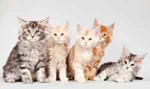 Фотография Кошки Мейн-кун Котята Пушистый Рыжий