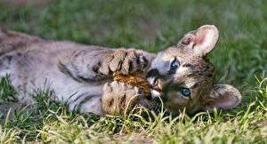 Картинка Пумы Большие кошки Детеныши Трава животное