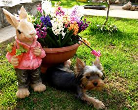 Фотографии Сады Собаки Зайцы Скульптуры Гиацинты Йоркширский терьер Трава Цветы