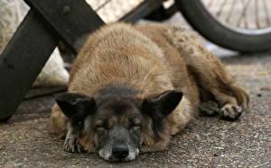 Обои для рабочего стола Собаки Спящий Животные