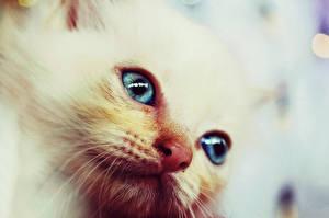 Фотография Кот Котят Смотрит Белых животное