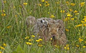 Обои Зайцы Лето Трава Животные