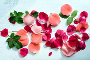 Картинки Роза Лепестки Листья цветок
