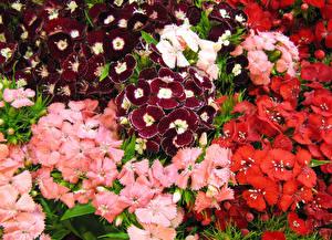 Обои Гвоздики Много Крупным планом цветок