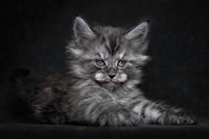 Фото Кошки Мейн-кун Котята Пушистый