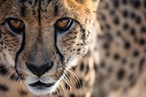 Картинка Гепарды Большие кошки Глаза Смотрят Морды Усы Вибриссы Нос животное