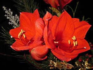 Картинка Амариллис Крупным планом Красный Цветы
