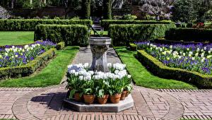 Картинка США Сады Тюльпан Крокусы Калифорния Filoli Gardens Природа Цветы