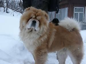 Фотография Чау Чау Собака Зима животное