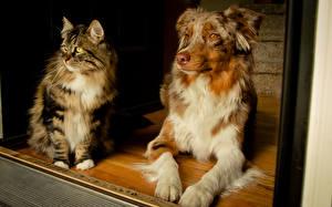 Картинка Собаки Коты Взгляд Австралийская овчарка
