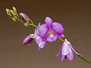 Фото Орхидеи Крупным планом Капель Фиолетовых цветок