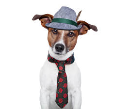 Фотография Собака Джек-рассел-терьер Шляпа Галстуке Смешные животное