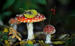 Фото Грибы природа Осенние Мухомор Природа