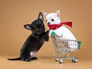 Картинки Собаки Чихуахуа Щенки Двое Бант Животные