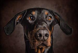 Картинки Собаки Пинчер Морды Взгляд Austrian Brandlbracke Животные