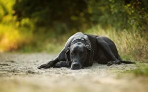 Фотографии Собаки Немецкий дог Черный Животные