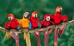 Картинка Попугаи Птицы Ара (род) Ветки Bing