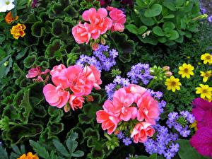 Фото Бегония Вербена Цветы