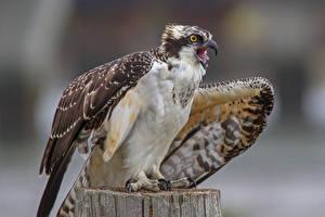 Фото Птицы Ястреб животное