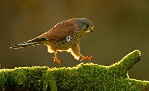 Обои Ястреб Птицы Мох Животные